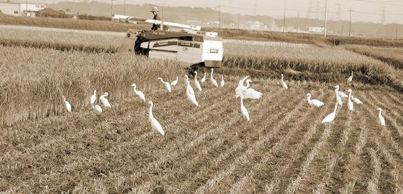 稲刈りしている最中に集まってきた白鷺